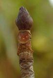 トチの葉痕