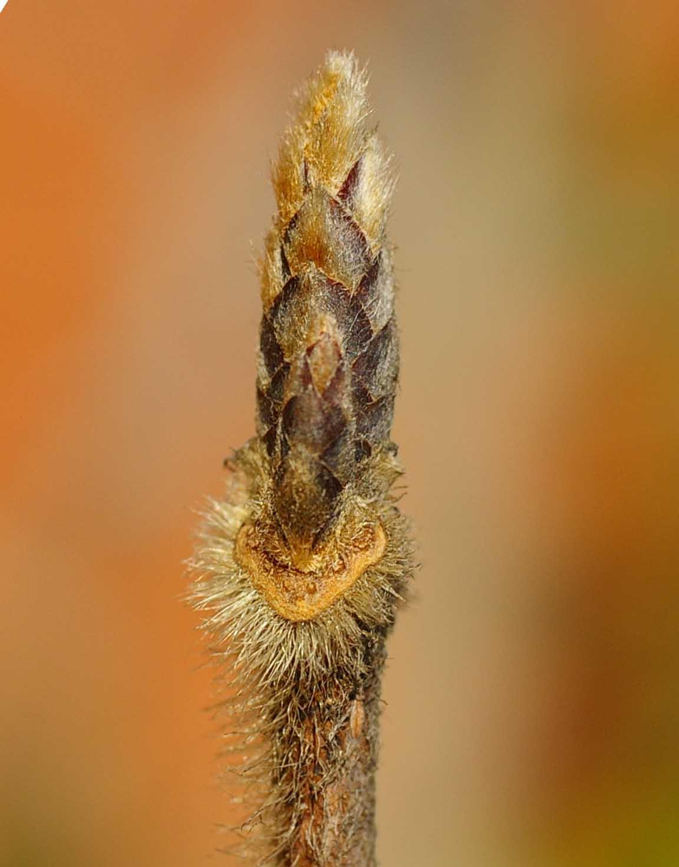 メグスリノキの葉痕