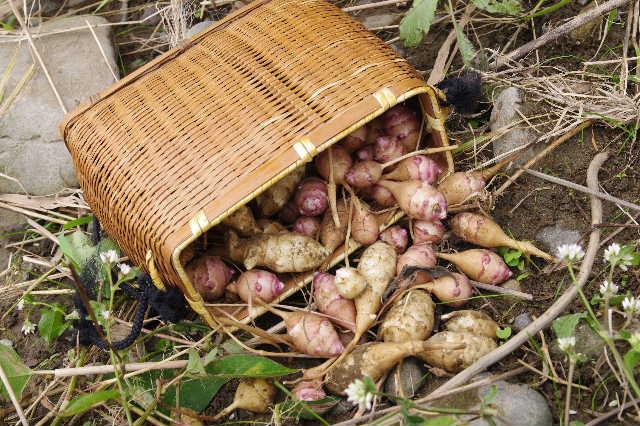 キクイモ収穫1