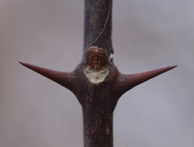 サンショウの葉痕0206