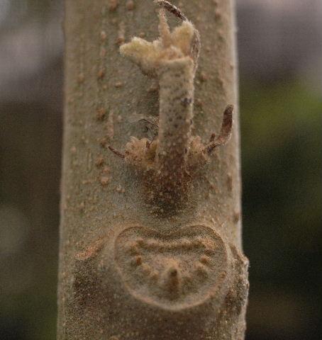 芙蓉の葉痕