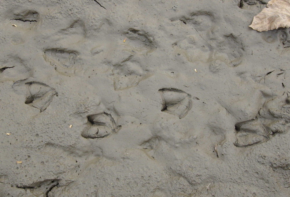 181124カルガモの足跡.JPG