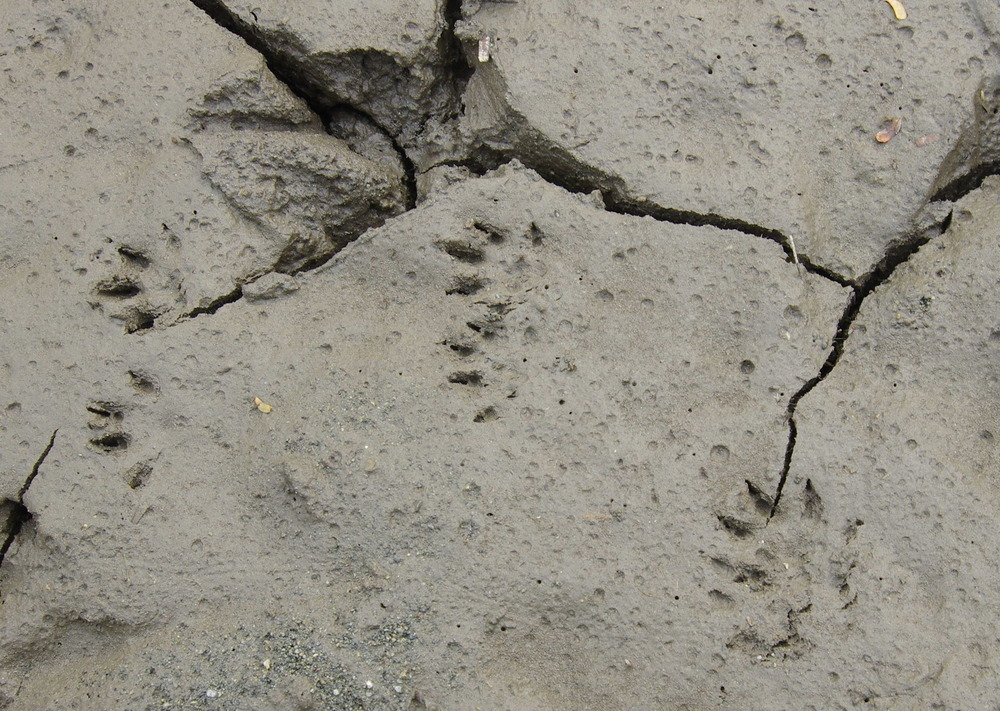 181124イタチの足跡.JPG