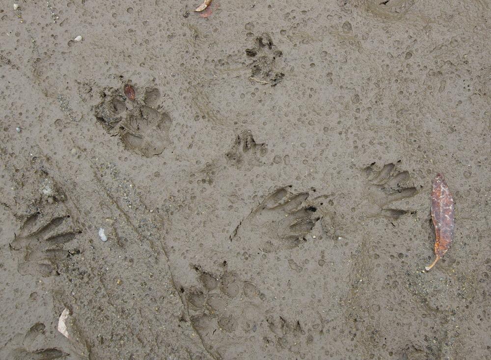 181124タヌキの足跡.JPG