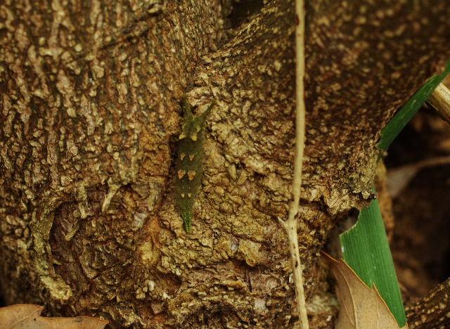 アカボシゴマダラ越冬幼虫121215.JPG