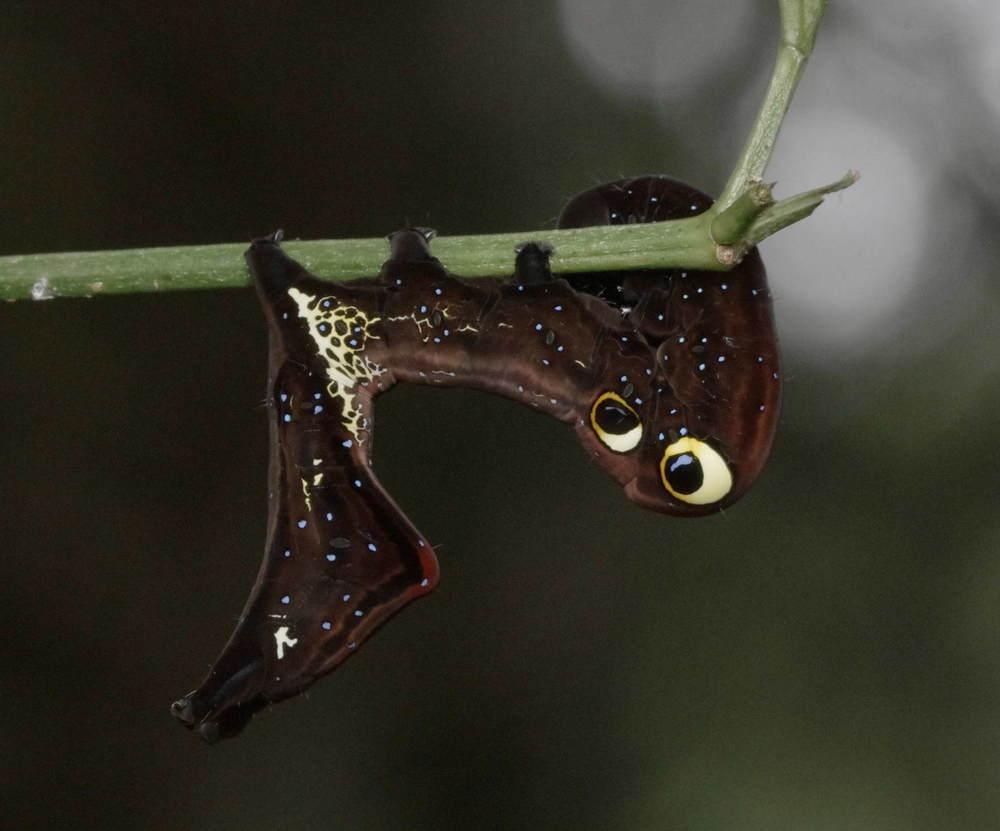 アケビコノハの幼虫.JPG