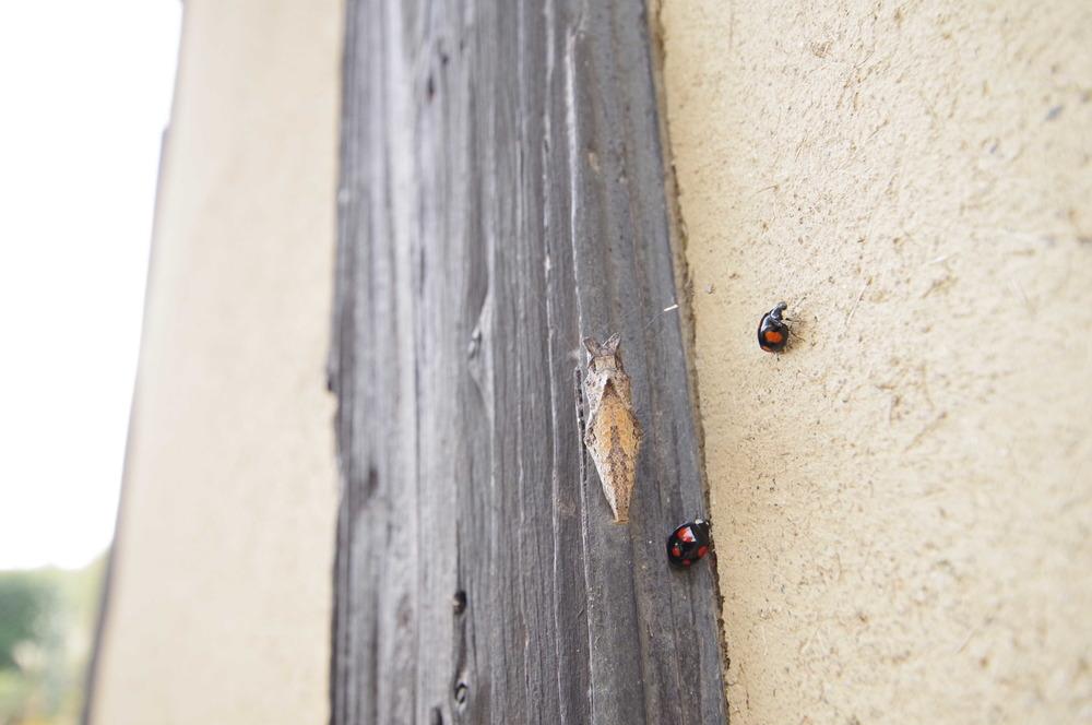アゲハの蛹191124.JPG