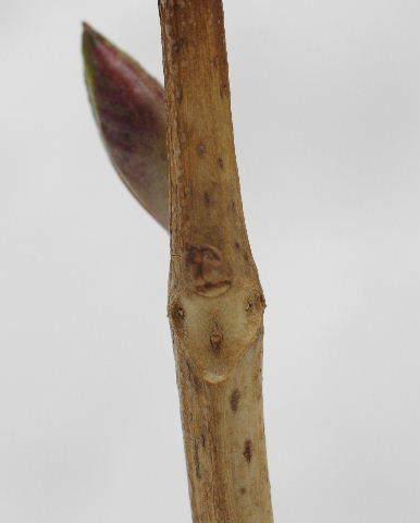 アジサイの葉痕140215.JPG