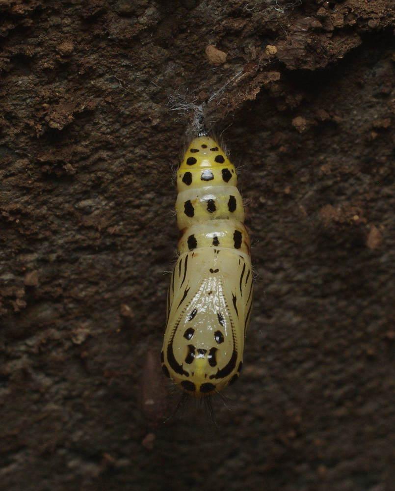 キアシドクガの蛹200514.JPG