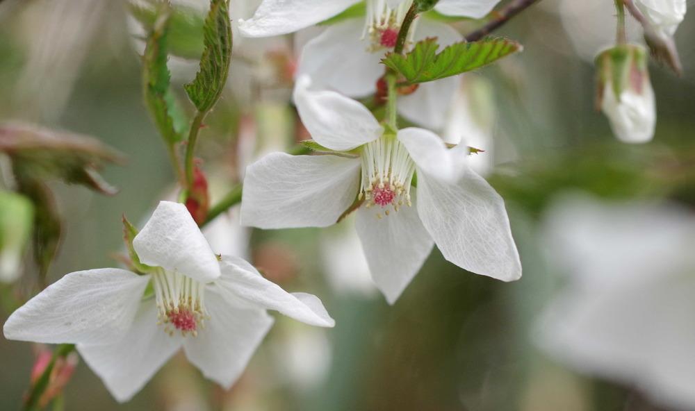 キイチゴの花190330.JPG
