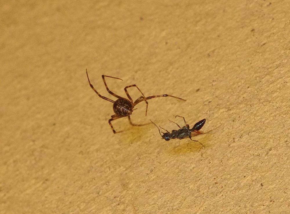 クモに捕まったサトセナガアナバチ180815.JPG