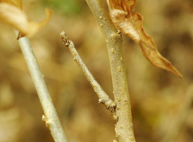 クワエダシャク幼虫121215-1.JPG