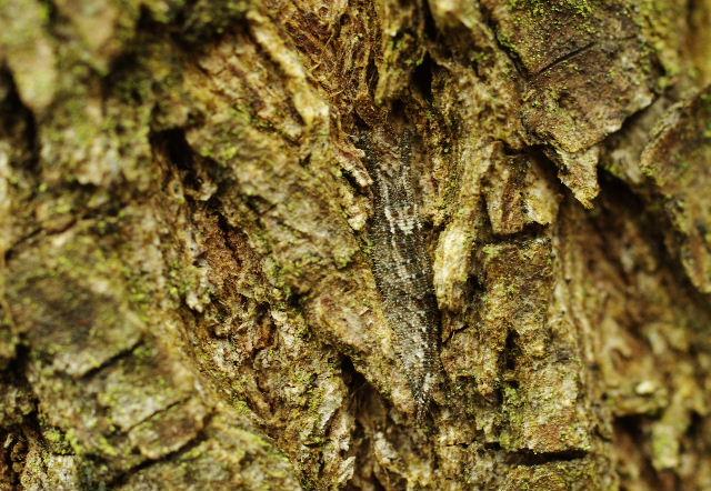 コムラサキ幼虫121215-1.JPG
