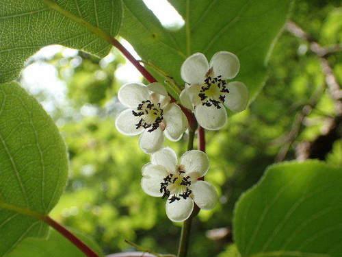 サルナシの花160529.JPG