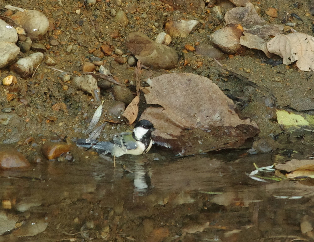 シジュウカラの水浴び201105.JPG