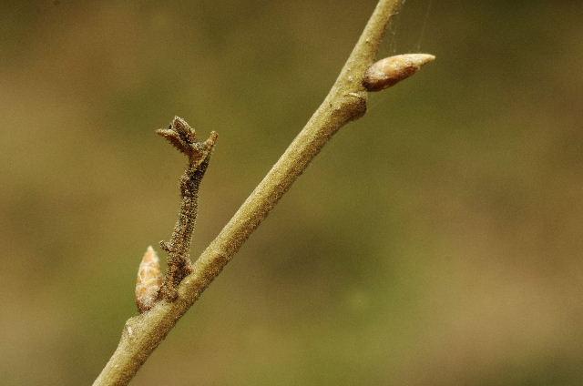 シャクガの幼虫130324.JPG