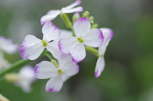 ダイコンの花160424.JPG