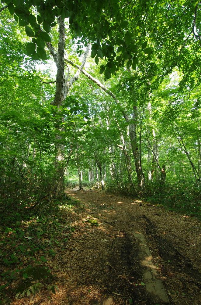 ダケカンバの樹林190802.JPG