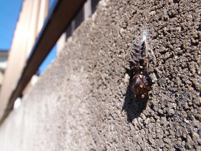 ツマグロヒョウモンの蛹121104.JPG