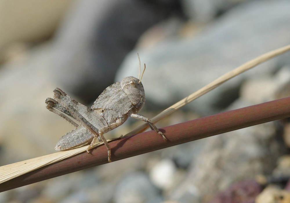 トノサマバッタ幼虫200822.JPG