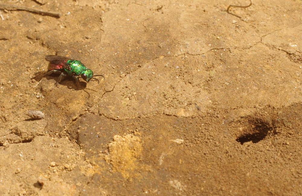 ナミツチスガリの巣を窺うハラアカマルセイボウ200610.JPG