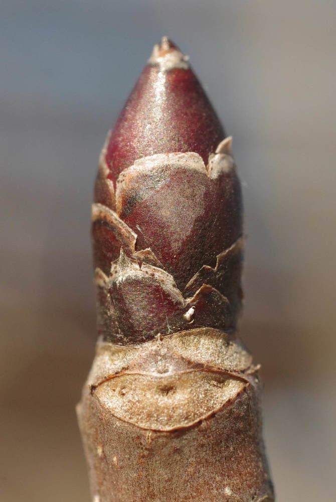 ハンカチの木の葉痕200209.JPG