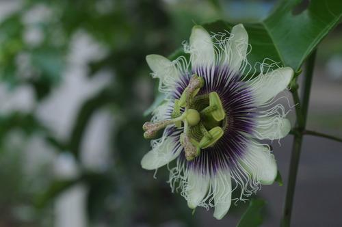 パッションフルーツの花170910.JPG