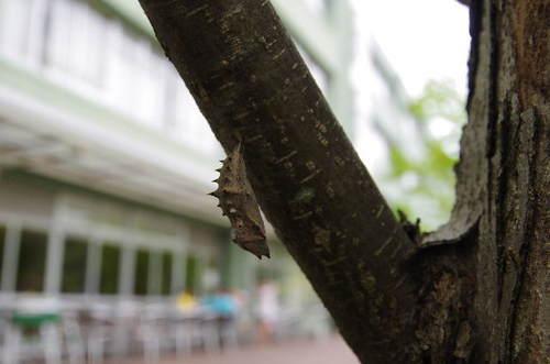 ヒオドシチョウの蛹140525.JPG