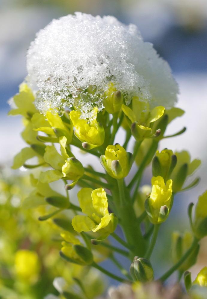 ブロッコリーの花190210.JPG