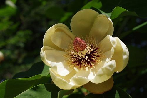 ホオの花160508.JPG
