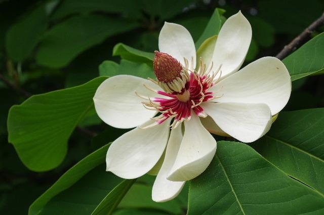 ホオの花180506.JPG