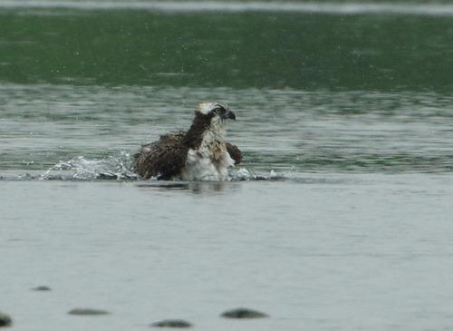 ミサゴの水浴び150905.JPG