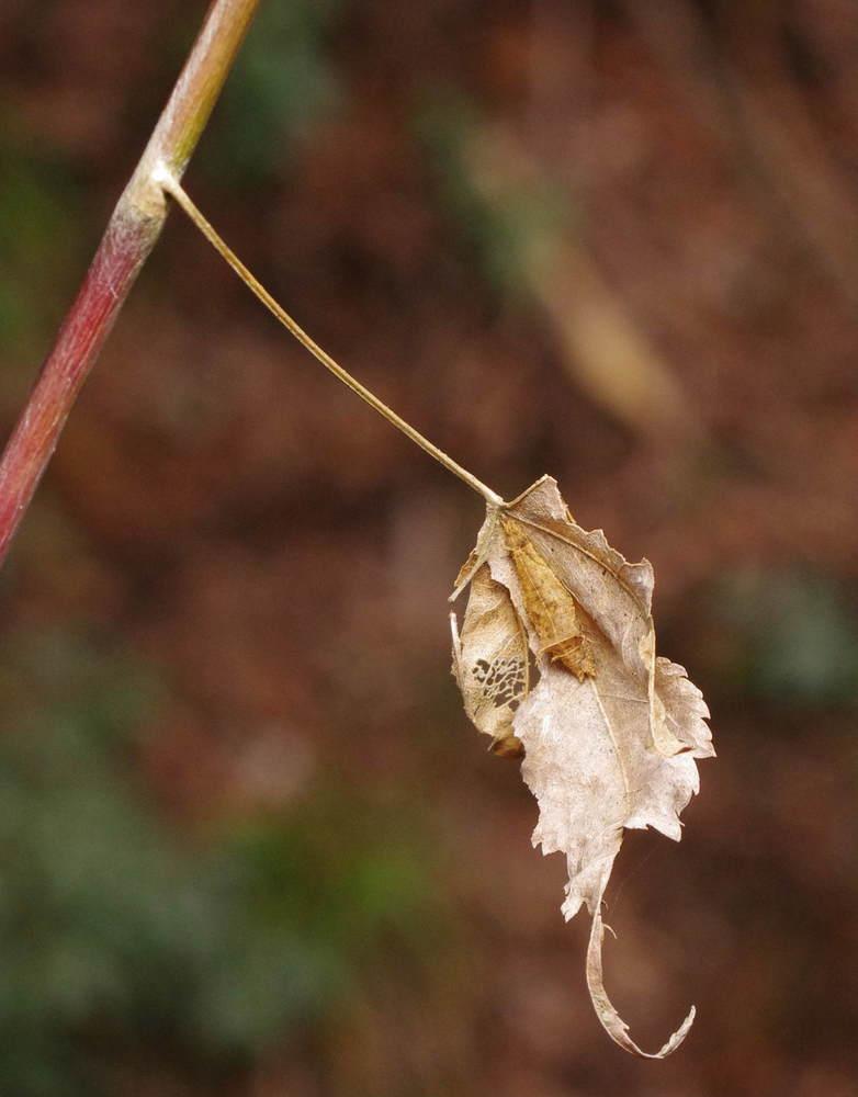 ミスジチョウの越冬幼虫190126.JPG