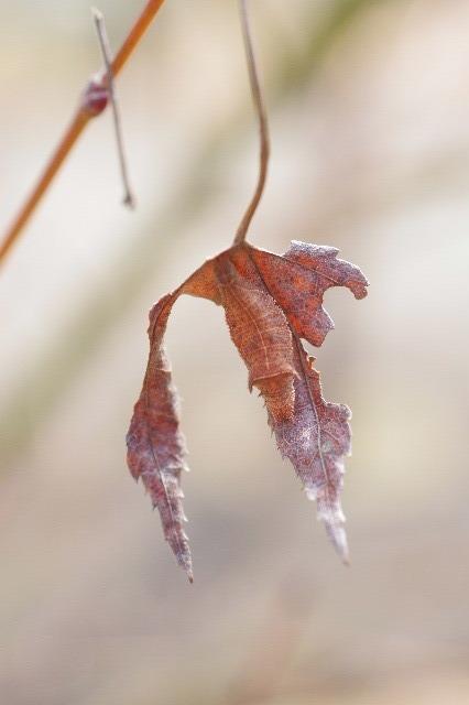 ミスジチョウ越冬幼虫200222−2.JPG