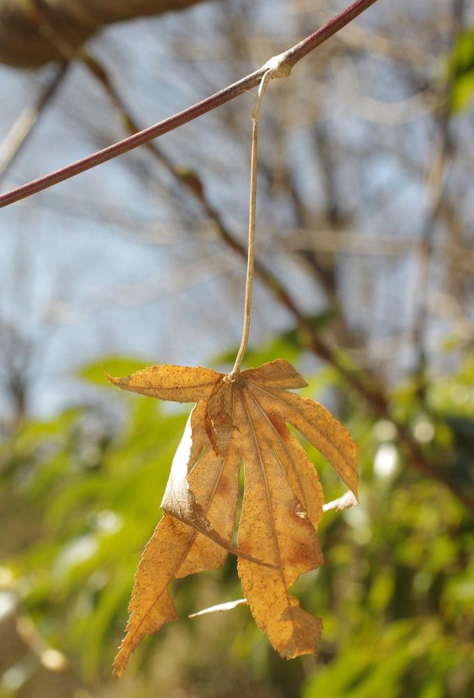 ミスジチョウ越冬幼虫210311.JPG