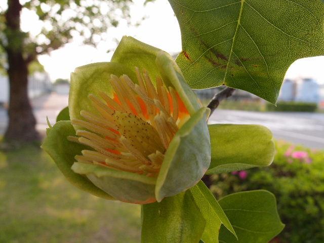 ユリノキの花120508.JPG
