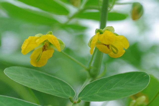 ラッカセイの花110820.JPG