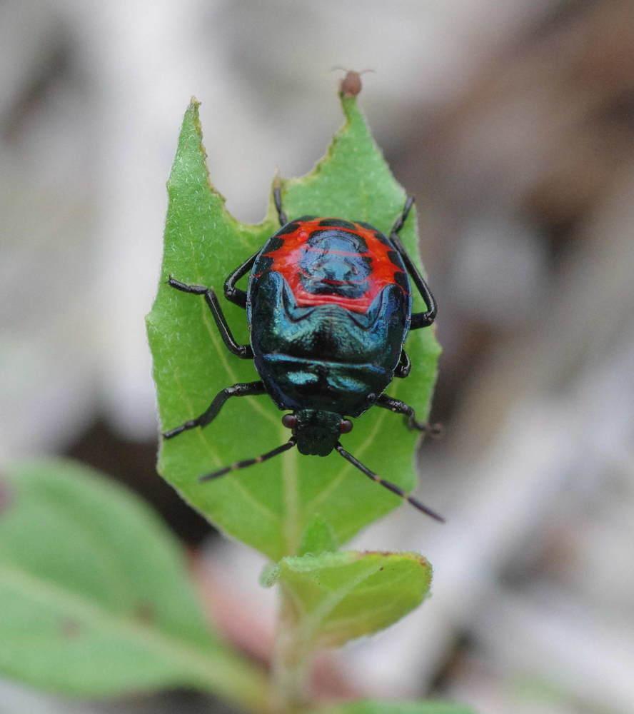 ルリクチブトカメムシ幼虫200628.JPG
