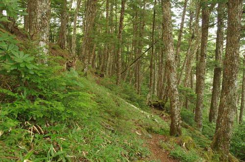北八ヶ岳の針葉樹林.JPG