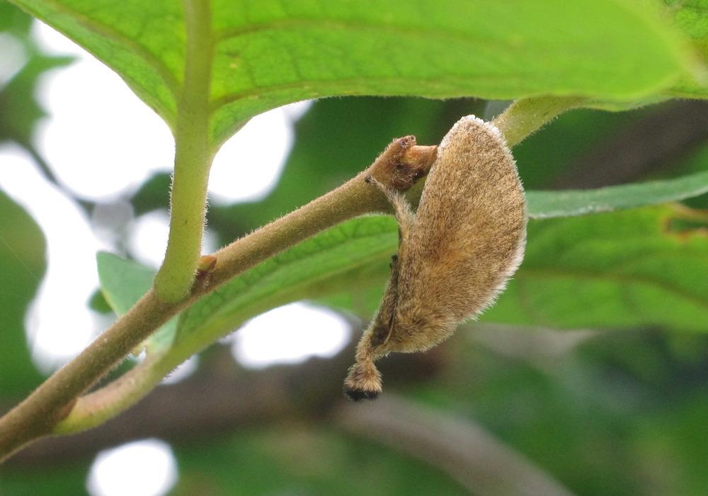 擬態する蛾200724−2.JPG