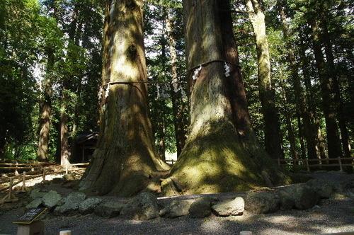 杉の巨木170603.JPG