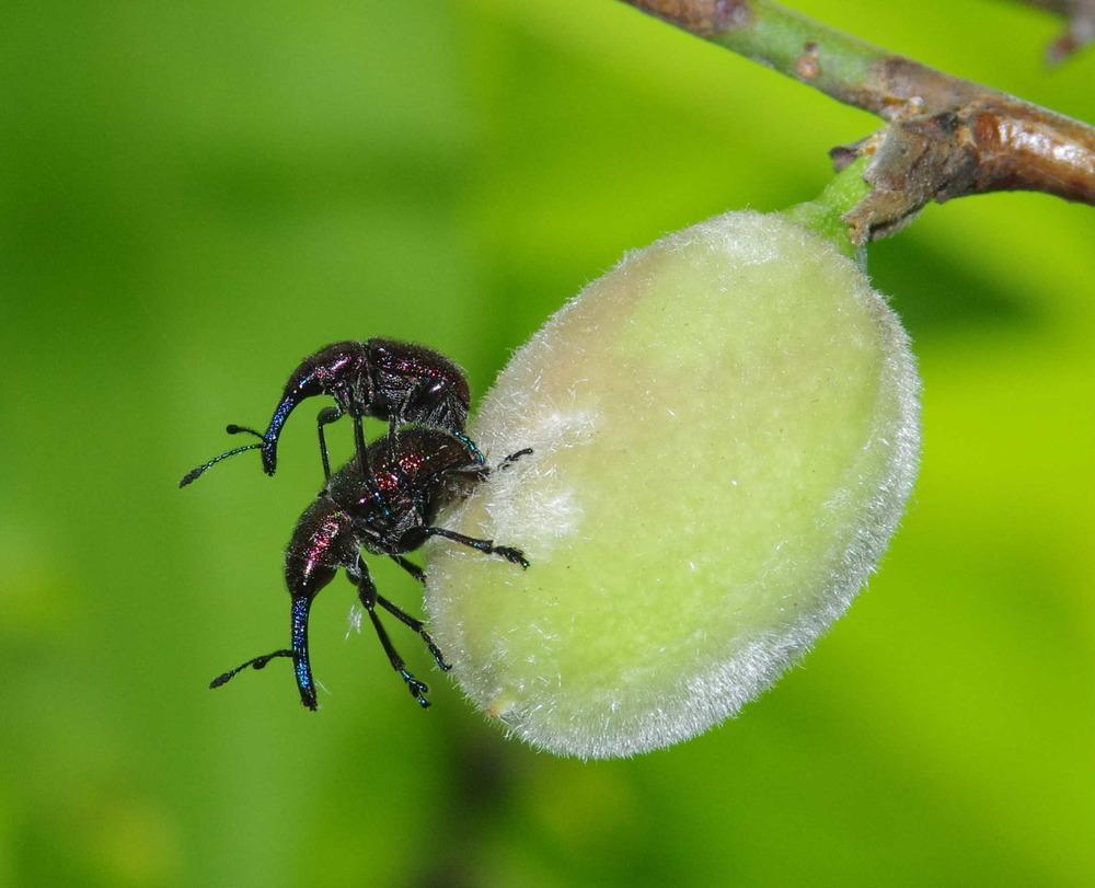 桃の実にいたモモチョッキリ180506.JPG