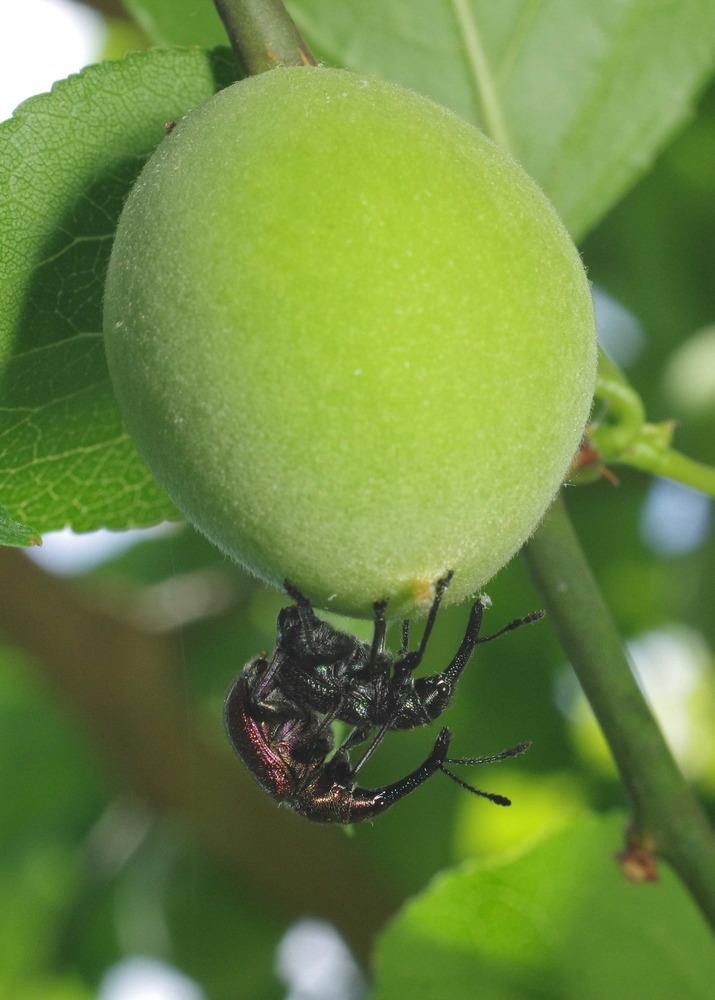 梅の実にいたモモチョッキリ180506.JPG