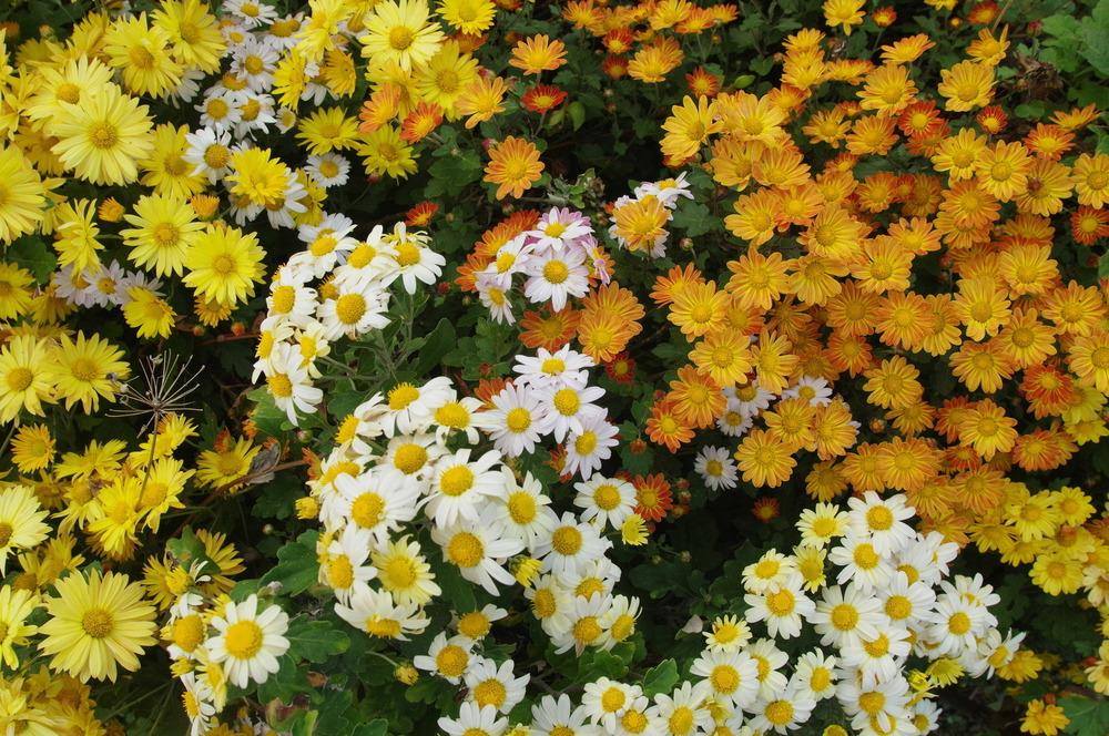 菊の花181109.JPG