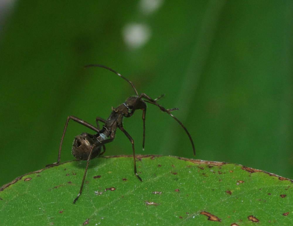 蟻に擬態190824-1.JPG