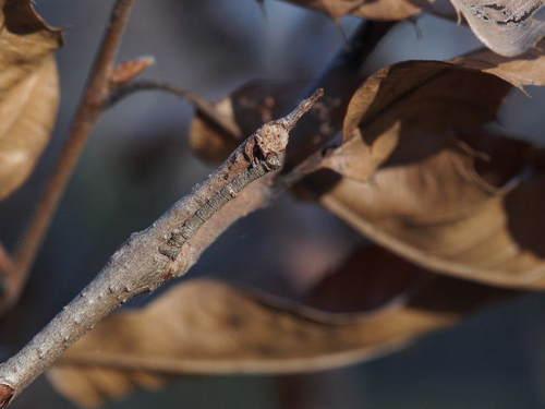 越冬するシャクガの幼虫150104.JPG