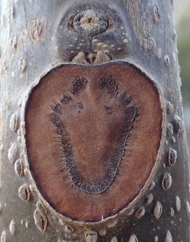 アオギリの葉痕160101.JPG