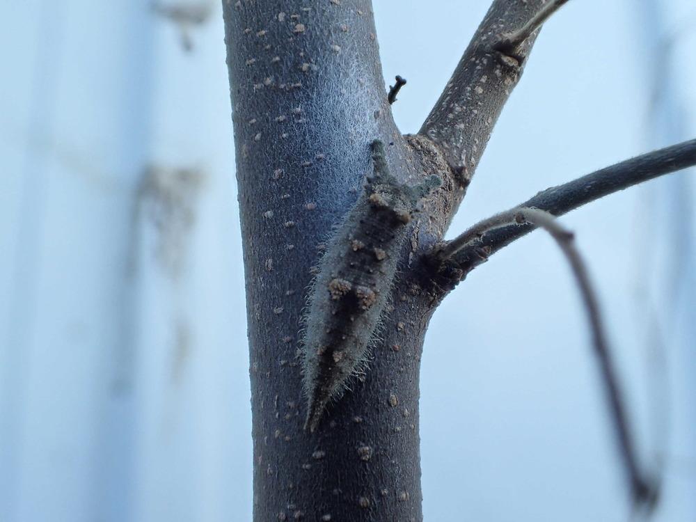 アカボシゴマダラ幼虫181224.JPG