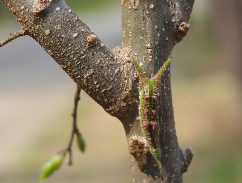 アカボシゴマダラ幼虫190407.JPG