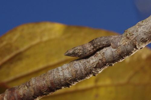 オオアヤシャク越冬幼虫151205.JPG